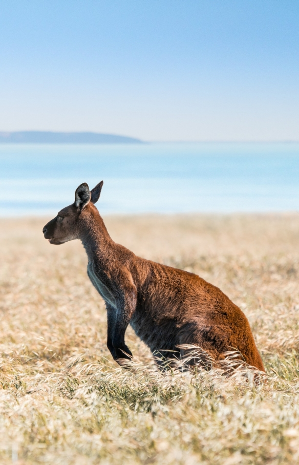 Koala at Hanson Bay Sanctuary, Kangaroo Island, SA © Tourism Australia